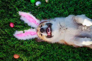 portrait of a cute puppy dog Corgi lying in the green grass in the pink ears surrounded by colorful Easter eggs