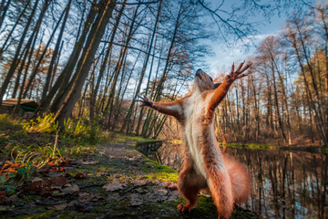 Foto op Aluminium Eekhoorn Funny red squirrell standing in the forest like Master of the Universe.