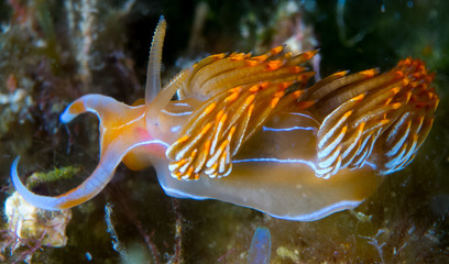 color,nudibranch,life,sea,marine,underwater,macro,animal,diving,tropical,nature,background,colorful,scuba,white,water,ocean,asia,animals,reef,yellow,beautiful,red,travel,orange,philippines,view,wild,w