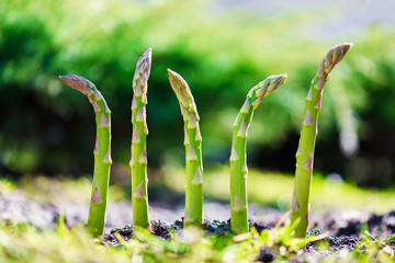 Young green asparagus sprout in garden growth closeup. Food photography
