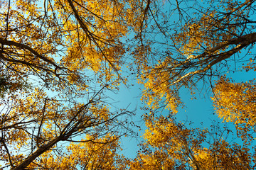 Foto op Canvas Aan het plafond Yellow birch tree with a blue sky on autumn forest. Nature beauty background