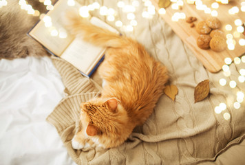 Fototapete - pets, hygge and domestic animal concept - red tabby cat lying on blanket at home in winter