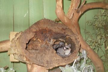 Australia New Zealand Sugar Glider airborne marsupial flying omnivorous, arboreal, and nocturnal gliding possum
