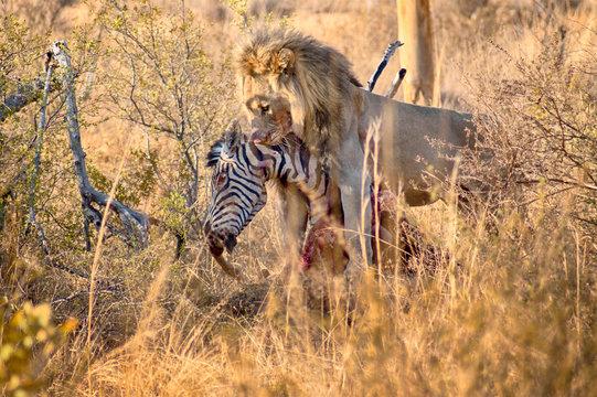 Male lion eating a zebra after hunt
