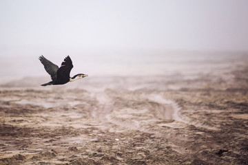 Cormorant flying over the beach, Skeleton Coast, Namibia, Africa Wall mural