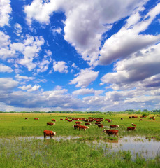 Fototapete - Herd of Beef Cattle grazing in pasture