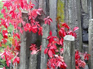 Herbstfarbender Mauerwein