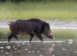 Wild boar in shallow water in forest