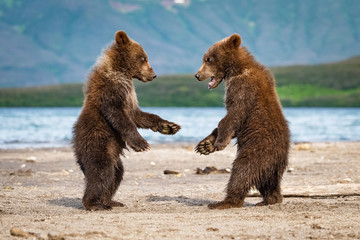 The young Kamchatka brown bear, Ursus arctos beringianus catches salmons at Kuril Lake in Kamchatka, running and playing in the water, action picture
