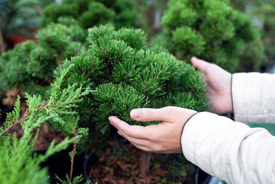 Gardener touching a coniferous tree in a pot.