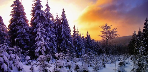 Beautiful scenic winter landscape with the snow covered spruce trees,mountain forest at winter evening, sunset,sunlight, sky and clouds, relaxing nature. Can be used as christmas photo, panoramic. .