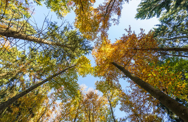 Treetops in a mixed forest in autumn, low angle view, Germany