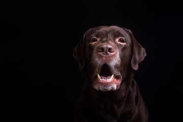 Face portrait of brown chocolate labrador retriever dog isolated on black background. Dog face close up.