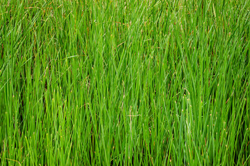 Background of high green grass grown on the swamp.