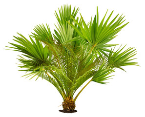 Tropical plant with lush green foliage. Exotic vegetation isolated on a white background. Palm leaves. Jungle plant. High quality clipping mask for professional composition.