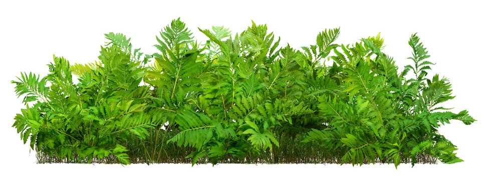 Hedge of fern plant isolated on a white background. Bush of lush green leaves. High quality clipping mask for professional composition.