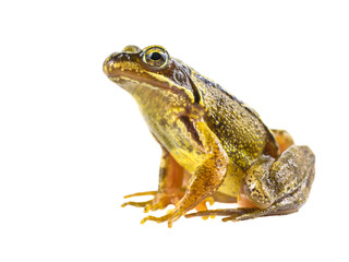 Foto op Canvas Kikker Common brown frog on white background