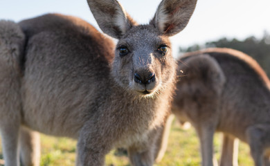 Tuinposter Kangoeroe wildlife animal young child kid joey kangaroo Australian animal close up face cute