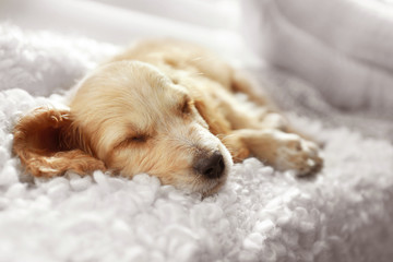 Cute English Cocker Spaniel puppy sleeping on plaid indoors, closeup