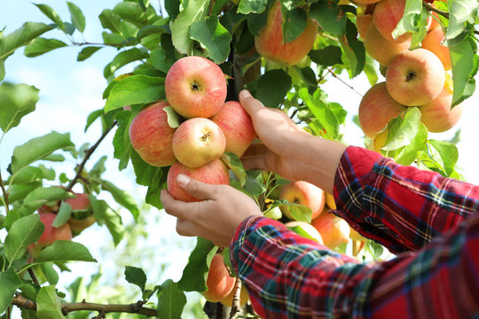 Woman picking ripe apples from tree outdoors, closeup