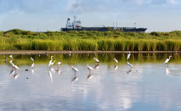 The flock of white american ibises and egrets fishing in the Galveston bay  with big cargo ship on the background