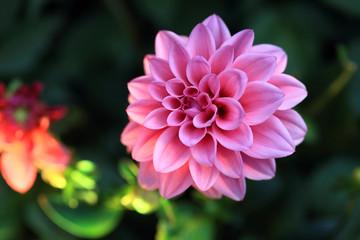 beautiful pink Dahlia blooming in spring