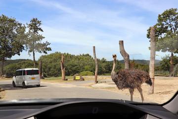Zelfklevend Fotobehang Struisvogel 道を横断するダチョウ