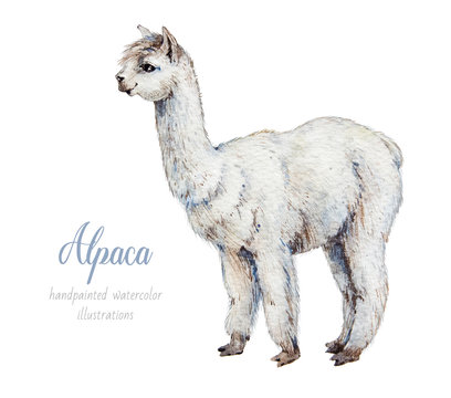 Alpaca. Watercolor illustration