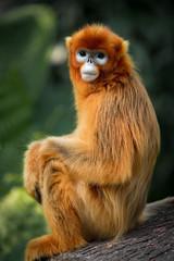 Photo sur Plexiglas Singe The snub-nosed monkey portrait