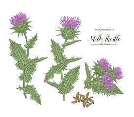 Milk thistle plant hand drawn. Colorful thistle flowers and seeds isolated on white background. Medicinal gerbs collection. Vector illustration botanical.