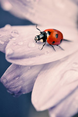 Red Ladybug on light colored flower petal. An artistic macro picture of Ladybug.