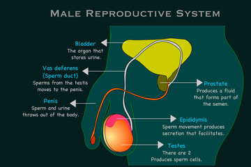 Male reproductive system. Man  reproduction organs anatomy. Annotated. Cross section diagram. With explanations. Prostate, epididymis, testes, penis, sperm duct. Dark green x ray background. vector