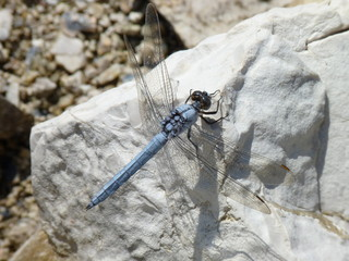 Southern Skimmer dragonfly, Butrint, Albania