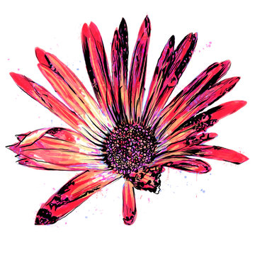 Anthophyta 056a - Hand painted African daisy flower illustration.  Coral red, orange and magenta watercolour and black ink on a white background..