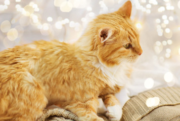 Fototapete - pets, christmas and hygge concept - red tabby cat lying on blanket at home in winter