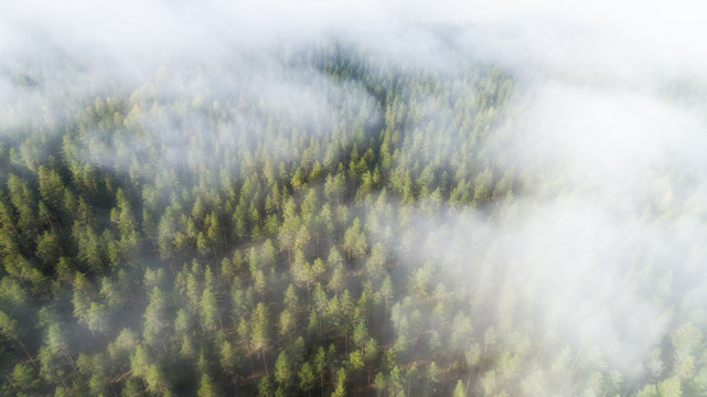 Autumn Foggy Forest With Colorful Trees In Mist Clouds Aerial View. Nature Landscape Of Woodland In Fog