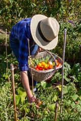 Au potager - récolte de légumes