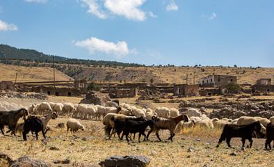 herd of cows grazing in turkey