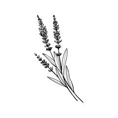 Obraz Lavender black and white vector sketch. Fragrant French wildflower with title. Violet summer honey plant sketched outline. Blooming aromatic Provence wild flower engraving. Aromatherapy scent - fototapety do salonu