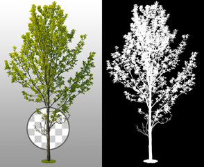 Green tree isolated on transparent background. Deciduous tree in summer. High quality clipping mask for professional composition.