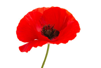 Fotobehang Poppy poppy flower isolated