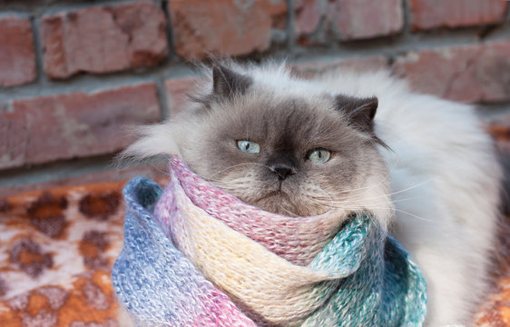 A beautiful fluffy gray cat with blue eyes froze and wrapped himself in a warm scarf. Autumn, cooling, no heating