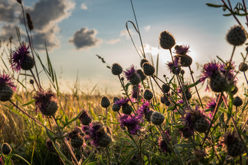 Foto auf Acrylglas Wiesen / Sumpfe purple plumeless thistle during sunset