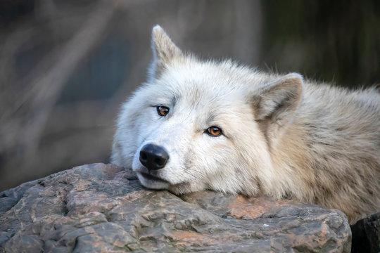 White Hudson Bay wolf beautiful view