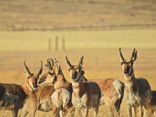 Pronghorn, Carrizo Plain National Monument, southeastern San Luis Obispo County, California.