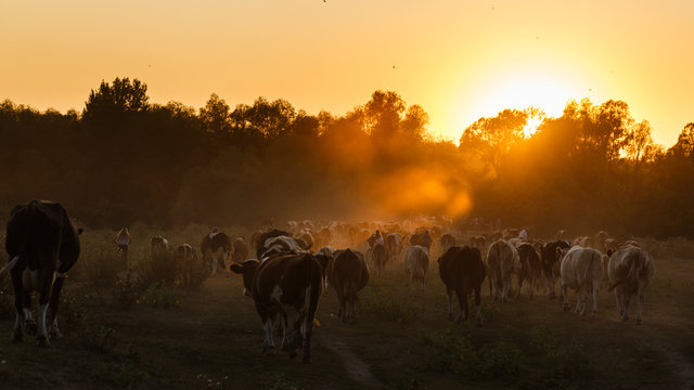Epic scene of cattle farm - livestock of cows going at meadows pasture along the river Psel in Ukraine. Amazing morning scenery. Countryside background. Dairy natural bio production. 16:9 ratio.