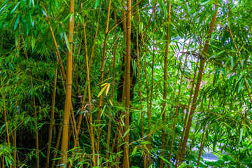 Fotobehang Bamboo bamboo forest, bamboo trunks in closeup, Asian nature background