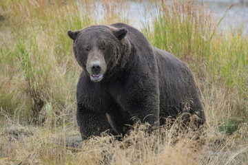 Nicht ungefährliches Aufeinandertreffen in de Wildnis Alaskas - großer männlicher Grizzlybär