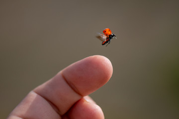 Fototapeta Red lady bug background. Insect flying from  finger obraz