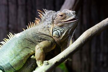 resting iguana